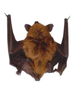 What Bat Species Are Native To The Los Angeles County Area